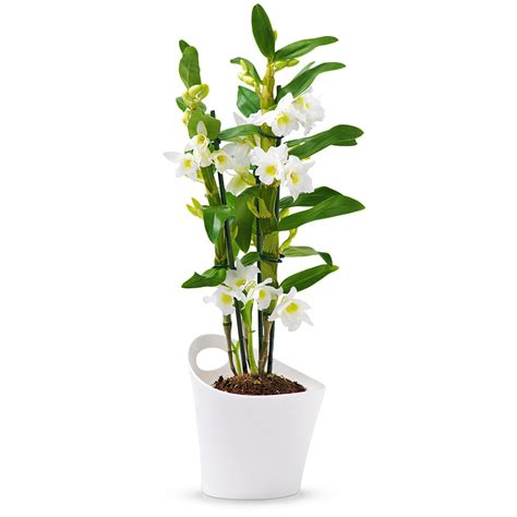 bureau pas chere dendrobium nobile orchidée apollon blanc cadofrance