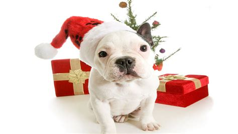 The app christmas dog wallpapers is free and easy to use: Christmas Puppy - Free Download Christmas Dog HD Wallpapers for iPhone 5 | Free HD Wallpapers ...