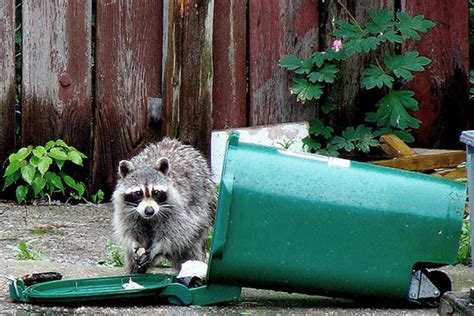 rid  raccoons pest control tips houselogic
