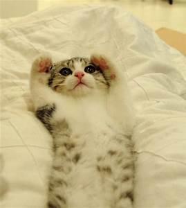 cute scottish fold kitten | Cat Craze | Pinterest