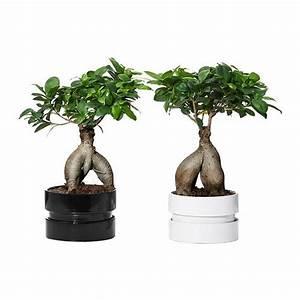 Ficus Ginseng Kaufen : ficus microcarpa ginseng pflanze mit bertopf bonsai versch farben balkon pflanzen und blumen ~ Sanjose-hotels-ca.com Haus und Dekorationen
