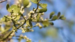 Mistletoe - Mistletoe Herbal Tincture - Mistletoe Leaf Tea