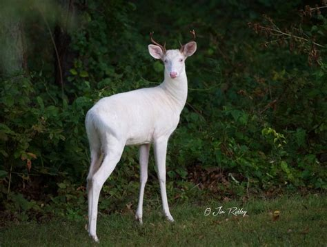 Rare albino deer spotted in Oakland County | MLive.com
