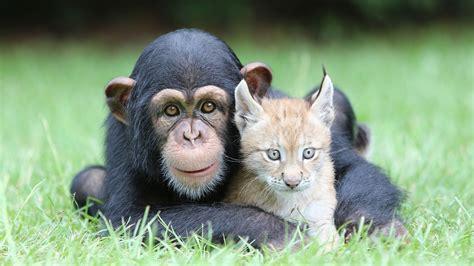 Chimpanzees, Lynx, Animals, Nature, Baby Animals, Face