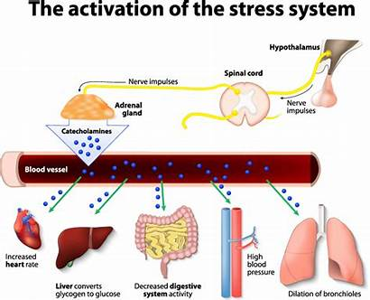 Stress Cortisol System Lower Adrenals Adrenal Response