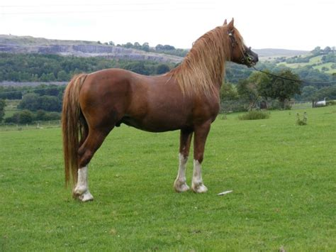 pony welsh horse horses section ponies breeds british native breed types facts type isles cob pets4homes hand articles buying riding