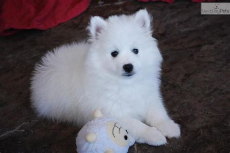 Miniature American Eskimo Shedding by Miniature American Eskimo Dogs American Eskimo For Sale