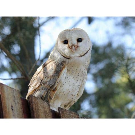 barn owl habitat habitat of owls