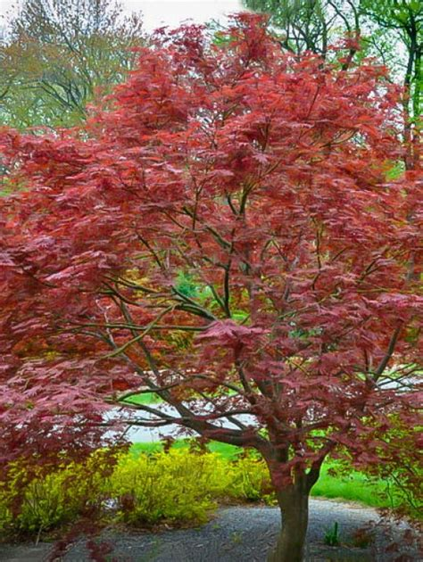 japanese maple pictures japanese maple the tree center