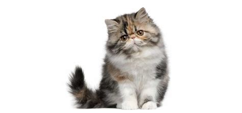 Persian Cat Insurance  Reviews And Comparisons