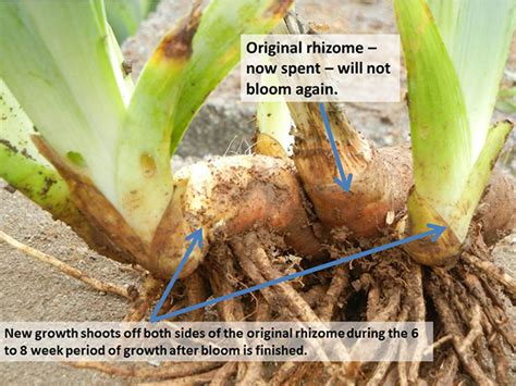 how to plant iris bulbs saving overgrown iris for the love of iris