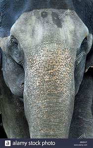 Front View Of Eyes And Trunk of Indian Elephant Elephas ...