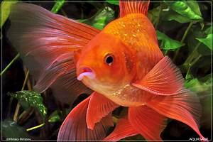All About Gold Fish And Beautiful Mollies For Beginners