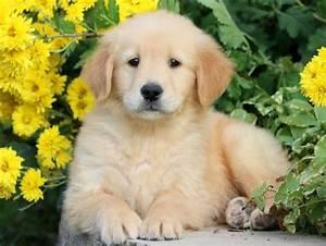 golden retriever puppies for sale puppy adoption