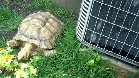 Sulcata Tortoise Bedding by Sulcata Tortoise S Meal At New Home