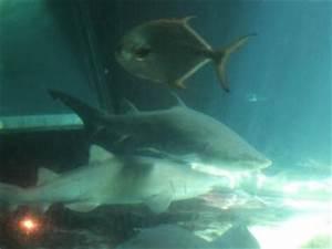 Giant Shark Tank Headed to Coney Island Aquarium - Coney ...