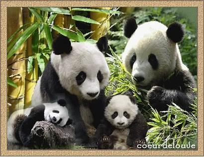 Animaux Coeurdelouve Panda Kdo Merci Divers Animes