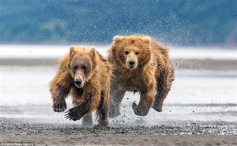 Bear Protecting Cubs