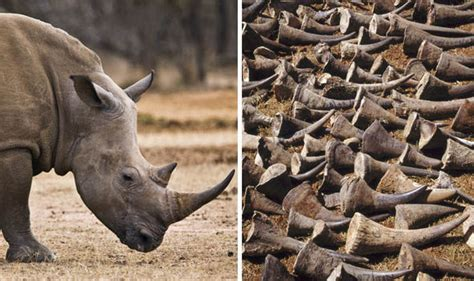 Gang Who Stole £57million In Rhino Horn Artefacts Have
