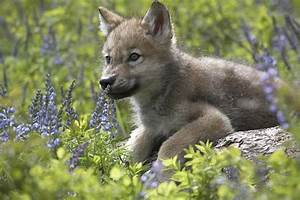 Gray Wolf Canis Lupus Pup Amid Lupine Photograph by Tim