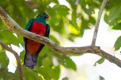 quetzal pavonino aves exoticas