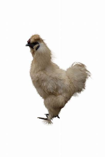 Chicken Poulet Transparent Funny Fichier Fond Backgrounds