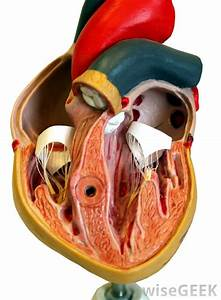 What Is The Aortic Arch   With Pictures