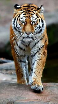Pin by ️Aarya ️ on Wallpaper quotes in 2020 | Tiger ...