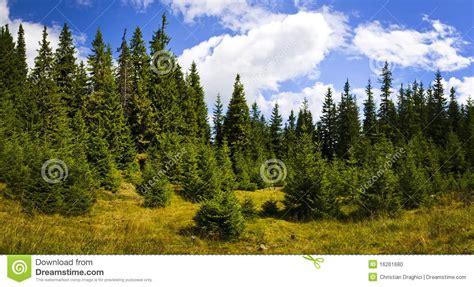 pine forest landscape stock photo image