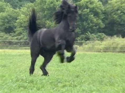 World Most Beautiful Friesian Horses