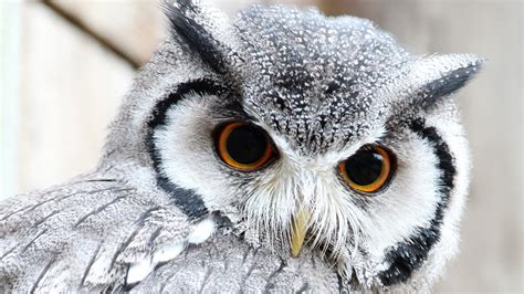 Hd Owl Wallpapers by Free Owl Wallpapers Wallpaper Wiki