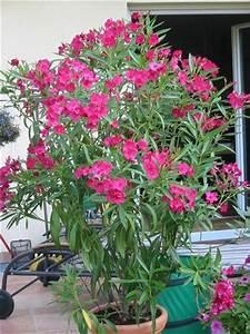 Oleander Im Winter : oleander im freien berwintern lagebericht seite 1 gartenpraxis mein sch ner garten online ~ Orissabook.com Haus und Dekorationen