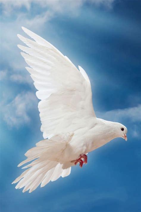 dove peace sky pigeon white mobile wallpaper mobiles