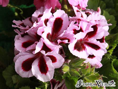 pelargonium grandiflorum floravera