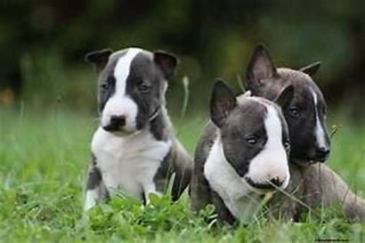 Bull Terrier Bullterrier Welpen Miniature Miniatur Hunde
