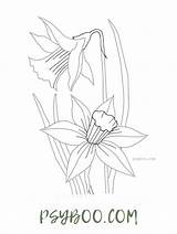 Daffodil Narcissus Coloring Delicate Printable sketch template