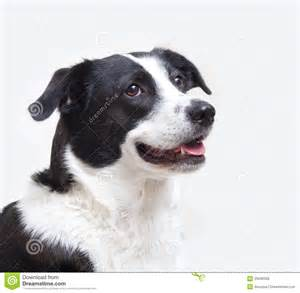 Dogs White Background Head Shot