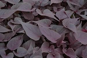 Sweetheart Purple Sweet Potato Vine (Ipomoea batatas ...