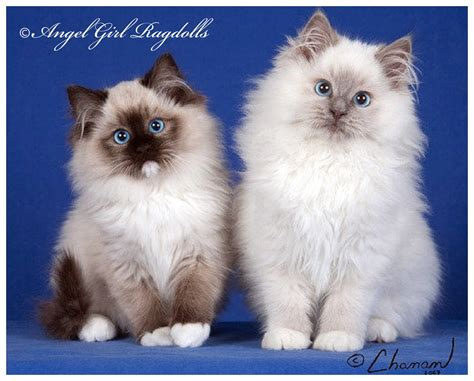 Available Ragdoll Kittens » Angel Girl Ragdolls
