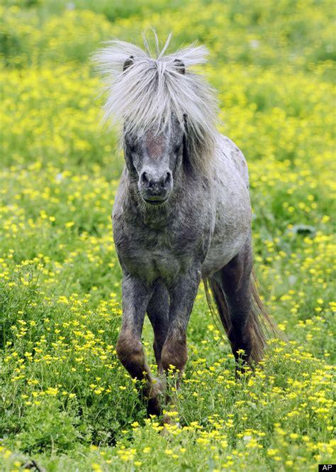 horse miniature horses mini service animal illinois ohio zanesville slide gadgets law huffpost