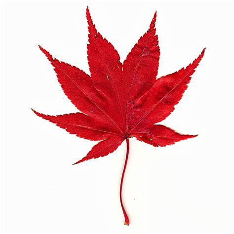 maple leaves japan japanese maple leaf