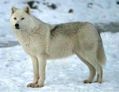 Wolf Arctic Wolves Wiki Fandom Wild Kratts