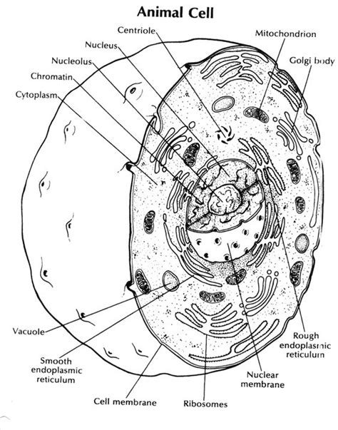 Animal Cell Coloring Key by Animal Cell Coloring Key Science Cells Animal Cell