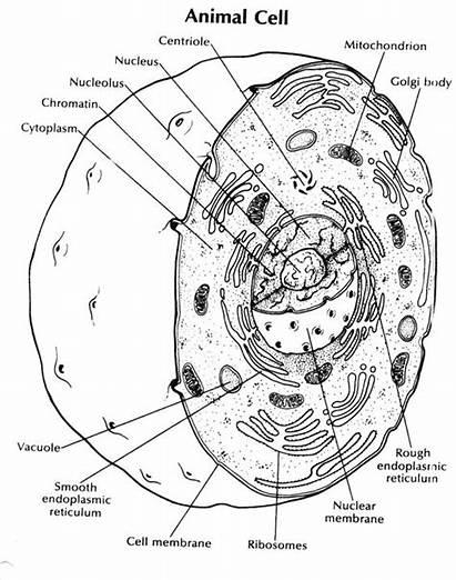 Cell Animal Worksheet Coloring Plant Diagram Human
