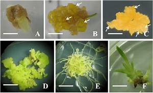 Plant Regeneration From Callus Derived From In Vitro