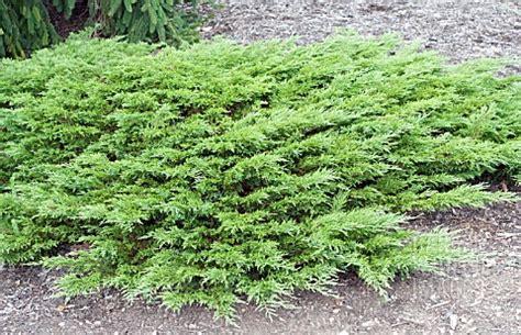 bpe juniperus sabina calgary carpet asset details