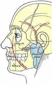 Superficial temporal artery - Wikipedia