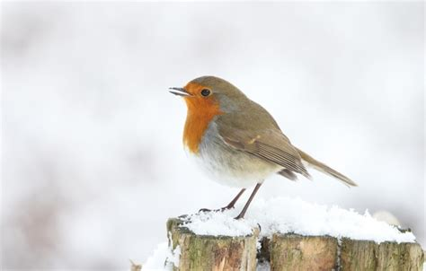 Buy this funny bird live wallpaper now. Wallpaper winter, snow, bird, stump, white background, Robin images for desktop, section ...