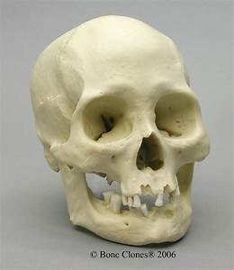 Museum Quality Modern Adult Skull Casts