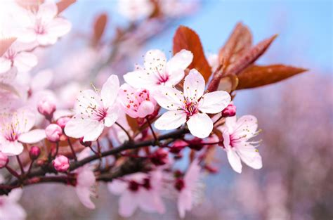 Pink Blossom Flowers On A Branch Free Stock Photo Public